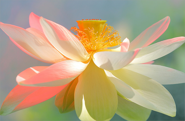 White Lotus Flower